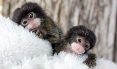 Baby Marmosets #monkeys