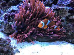 Lustiger Anemonenfisch #coral #reef #reeftank #reefing #aquarium #ilovemyreef