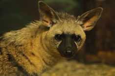 The endangered aardwolf, of Africa. Distantly related to the hyena, they are an insectivorous species feeding primarily on termites.