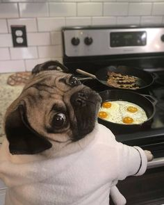 Scroll through these hilarious Pugs when you need a pick-me-up. Just try not to smile looking at these adorable dogs. Cute Dogs And Puppies, Pet Dogs, Dog Cat, Doggies, Silly Dogs, Funny Dogs, Cute Funny Animals, Cute Baby Animals, Cute Baby Pugs