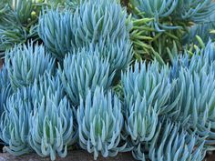 Sticks: One of the Favorite Succulents for Landscape Designs Blue Chalk Sticks has two unbeatable design features going for it: color and texture.Blue Chalk Sticks has two unbeatable design features going for it: color and texture. Blue Succulents, Blue Plants, Types Of Succulents, Planting Succulents, Succulent Plants, Real Plants, Indoor Succulents, Indoor Herbs, Succulent Terrarium