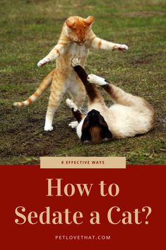 Sedating a cat will help them feel safe and make them feel less stressed. In this article is eight effective ways on how to sedate your cat. Cute Kittens, Cats And Kittens, Animals And Pets, Cute Animals, Teacup Cats, Cat Attack, Cat Species, Kitten Care, Cat Behavior