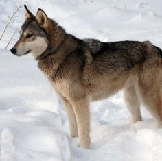Is the Tamaskan Dog right for you? Read our online guide complete with pics and info on characteristics, health and life style.