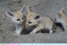 Fennec babies -- they are even cuter when babies wahhhh!