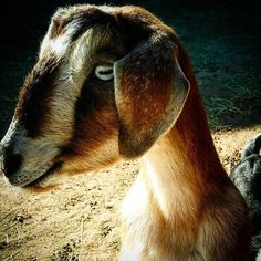 #mininubian #cute #goat @#countryhomefarm #soblessed #lovethecountry