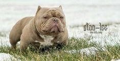 Pocket Bully, Bull Terriers, Chihuahuas, Bullies, Babys, French Bulldog, Pitbulls, Exotic, American