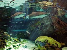 Ripley's Aquarium Pigeon Forge, Tennessee
