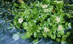 How to Grow Watercress Even if You Don't Have Your Own River by Alys Fowler, guardian.uk.com #Gardens #Watercress