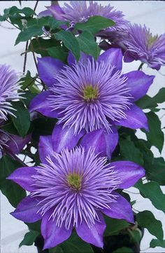Clematis Crystal Fountain - early summer to early fall; full sun to mostly sunny (Zones 4-10; northern IN is in zone 5 according to this site).