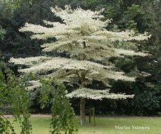 I want one.. Cornus controversa Variegata, the Giant Dogwood, also called Wedding Cake Tree.