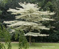 I want one.. Cornus controversa Variegata, the Giant Dogwood, also called Wedding Cake Tree.