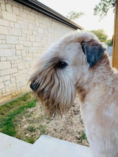 Sally Ann, Wheaten Terrier