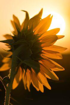 Sunflower by Nedyalko Nedyalkov / Sunflowers Tumblr, Sunflowers And Daisies, Sunflower Photography, Nature Photography, Amazing Flowers, Beautiful Flowers, Marie Von Ebner Eschenbach, Sunflower Pictures, Sunflower Wallpaper