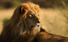 A beautiful picture of The Ultimate #Lion King Wallpaper downloaded from http://alliswall.com