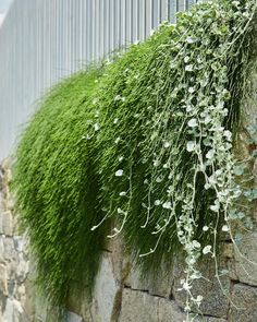 Gorgeous Casuarina 'Cousin It' and Dichondra 'Silver Falls' spilling over the wall at our Auchenflower garden. Phot