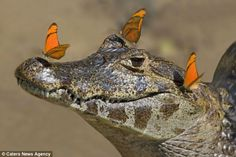 Don't make him mad! Brave butterfly irritates sharp-toothed caiman by flapping about on its nose