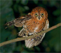 Short-eared owl, taken at Sanshia, Taipei County, TAIWAN