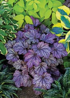 This landscape sized coral bells quickly grows into a robust clump perfectly suited to the front or middle of the border. Its leaves are remarkably iridescent purple in spring, turning luminescent pewter as the heat of summer arrives.