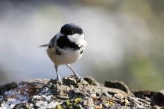 Coal Tit pictured at RHS Gardens,Harlow Carr,Harrogate,North Yorkshire ©Steve Gill from Photocrowd.com