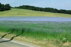 I absolutely love fields of linen flowers! http://www.linenflowerstudios.com/publishImages/Linen-fields-in-bloom~~element31.jpg