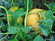 Συγκαλλιέργειες λαχανικών στο βιολογικό περιβόλι