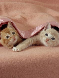 Domestic Cat, Ginger and Cream Kittens Under a Pink Blanket, Bedroom Prints by Jane Burton from AllPosters.com - $19.99