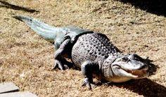 Une prothèse de queue pour alligator - http://www.2tout2rien.fr/une-prothese-de-queue-pour-alligator/