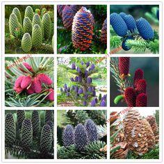 100pcs/lot rare Korean Fir,Abies koreana seed 24 colours bonsai flower seeds plant DIY home garden free shipping #Affiliate