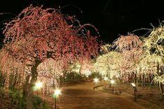 Plumblossom #nabana #mie #japan