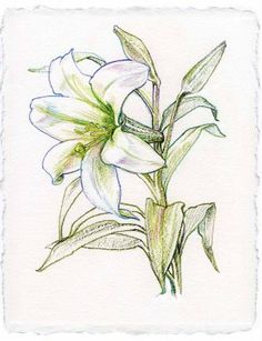 lily tattoo sketch | lily flower drawing rating 4 5 reviewer nden itemreviewed lily ...