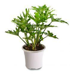 Philodendron Bipinnatifidum Rp 25,000