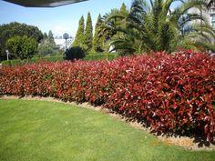 Landscape Design, Garden Design, Rose Trees, Stair Decor, Front Yard Landscaping, Shrubs, Sidewalk, Home And Garden, Backyard