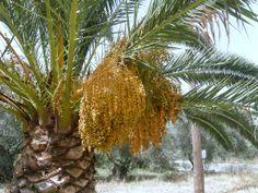 Cretan Date Palm (Phoenix theophrasti)