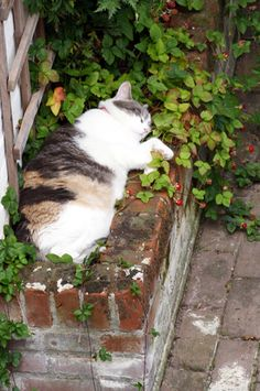 Kitty in the strawberry patch. I Love Cats, Cute Cats, Funny Cats, Crazy Cat Lady, Crazy Cats, Kinds Of Cats, Here Kitty Kitty, Sleepy Kitty, Cat Sleeping
