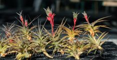 Tillandsia latifolia is a variable species. New tillandsia collectors sometimes have trouble identifying the differences between the Tillandsia latifolia species. Air Plants