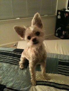 Chorkie puppy look familiar? :)