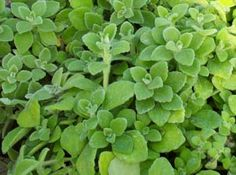 Vicks Plant - good for the herb garden