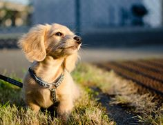 10 Things Every Active Outdoor Dog Needs To Be Happy And Healthy - Dogtime Doxie Puppies, Weenie Dogs, Dachshund Puppies, Dachshund Love, Cute Dogs And Puppies, Baby Dogs, Pet Dogs, English Cream Dachshund, Dapple Dachshund