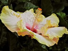 My new favorite flower.  I planted one six weeks ago and it has never stopped blooming.  Love the apricot hibiscus.