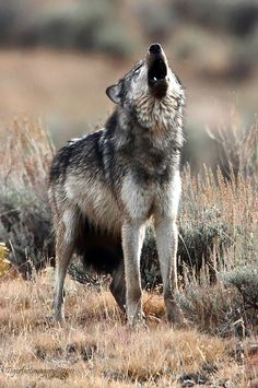 Howling Wolf || By Ross Forsyth on Flickr