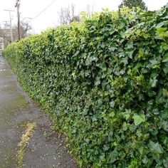 20 Green Fence Designs, Plants To Beautify Garden Design And Yard  Landscaping | Yard Landscaping, Flowering Plants And Landscaping Ideas