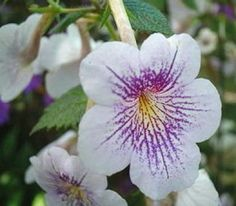 Growing Tips for Achimenes  http://makinbacon.hubpages.com/hub/achimenestipsplantinggrowingbulbs