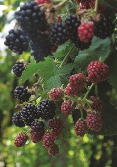 Rubus fruitcosus Black Cascade