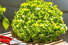Was Du über Gewächshaus-Salat wissen solltest...