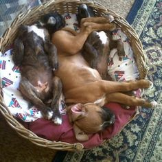 Boxers puppy nap, all bellies & snoring :)