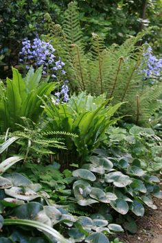 Asplenium scolopendrium, polystichum setiferum, Asarum europaeum. Good woodlander/shade loving plants for under the Betula tree.
