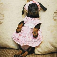 This dachshund is so adorable! Dachshund Puppies, Weenie Dogs, Dachshund Love, Cute Puppies, Cute Dogs, Dogs And Puppies, Daschund, Doggies, Baby Animals