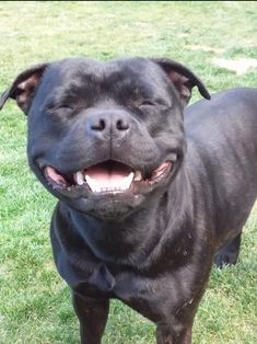 Uplifting So You Want A American Pit Bull Terrier Ideas. Fabulous So You Want A American Pit Bull Terrier Ideas. Staffordshire Bull Terrier, Bull Terrier Dog, Pitbull Pictures, Dog Pictures, Animals And Pets, Cute Animals, Dog Shaming, Pit Bull Love, Beautiful Dogs