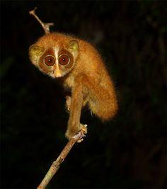 Learn about Sri Lankan Red Slender Loris . One of the Mammals found in Sri Lanka Primates, Mammals, Sri Lanka, Conservation, Slow Loris, Create Awareness, Habitats, Cute Animals, Animaux