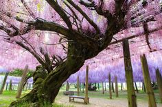 Wisteria Tunnel – Japan  In late April and early May, Kawachi Fuji Gardens in Kitakyushu, Japan, becomes a magical fairy land. Wisteria is a...